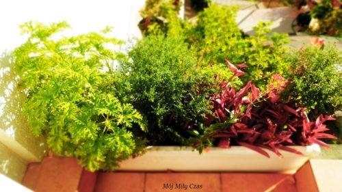 Aromatyczne zioła w brązowej doniczce