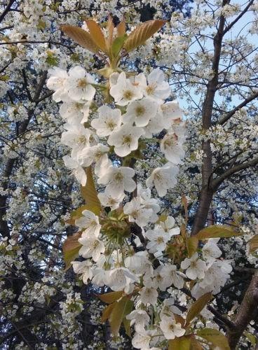 Nad Zalewem Sulejowskim oprócz drzew iglastych zdarzają się kwitnące dzikie owocówki