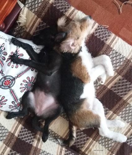 Dwa szczeniaki po wielogodzinnym bieganiu padają gdzie popadnie, a na kanapie najwygodniej